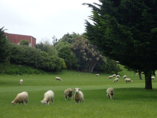 Sheep Working On The Golf Course