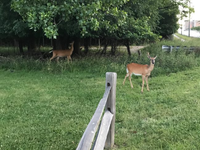 Chicago's Close Encounter - Oh Deer!